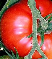Tomate | © CC BY-SA 3.0, https://commons.wikimedia.org/w/index.php?curid=99252